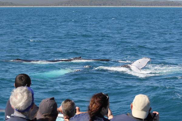 Accessible whale watching tour viewing a humpback whale waving flipper